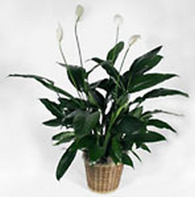 PEACE LILY from Aletha's Florist in Marietta, OH
